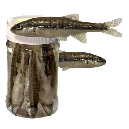 MINNOWS IN CAN ASTUCIT - PACK OF 10
